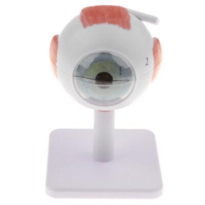 Human Eye Ball Anatomical Model Study Kit W Base School Teaching Aids 3x