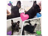 Black and Tan French Bulldog male Pup