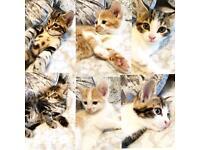 Beautiful Half Bengal kittens ready now
