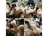 Stunning Poland Chickens