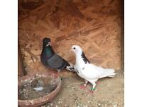 Iranian Pigeons For Sale