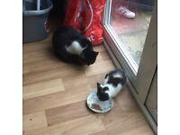 Beutiful kitten for sale