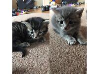 Tubby kittens