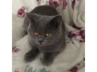 Gorgeous 20 month bsh cat full pedigree on active