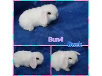 Pure bred Mini lop