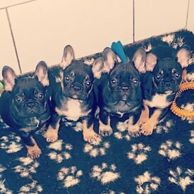 French bulldog puppies last of the litter
