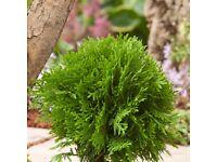 Garden Plants - Thuja occidentalis Danica Aurea
