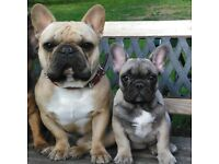 Show quality French bulldog male puppy