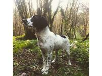 Black and white springer spaniel