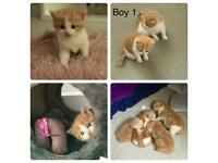 Kittens part Persians