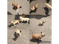 Chorkie pups for sale