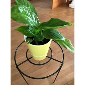 Beautiful peace lily plant in concrete pot