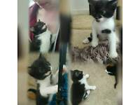 Kittens for sale £60 each 4 weeks old