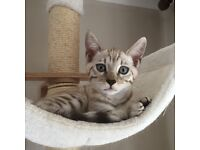 Pure Pedigree Bengal Kittens. Only one left.