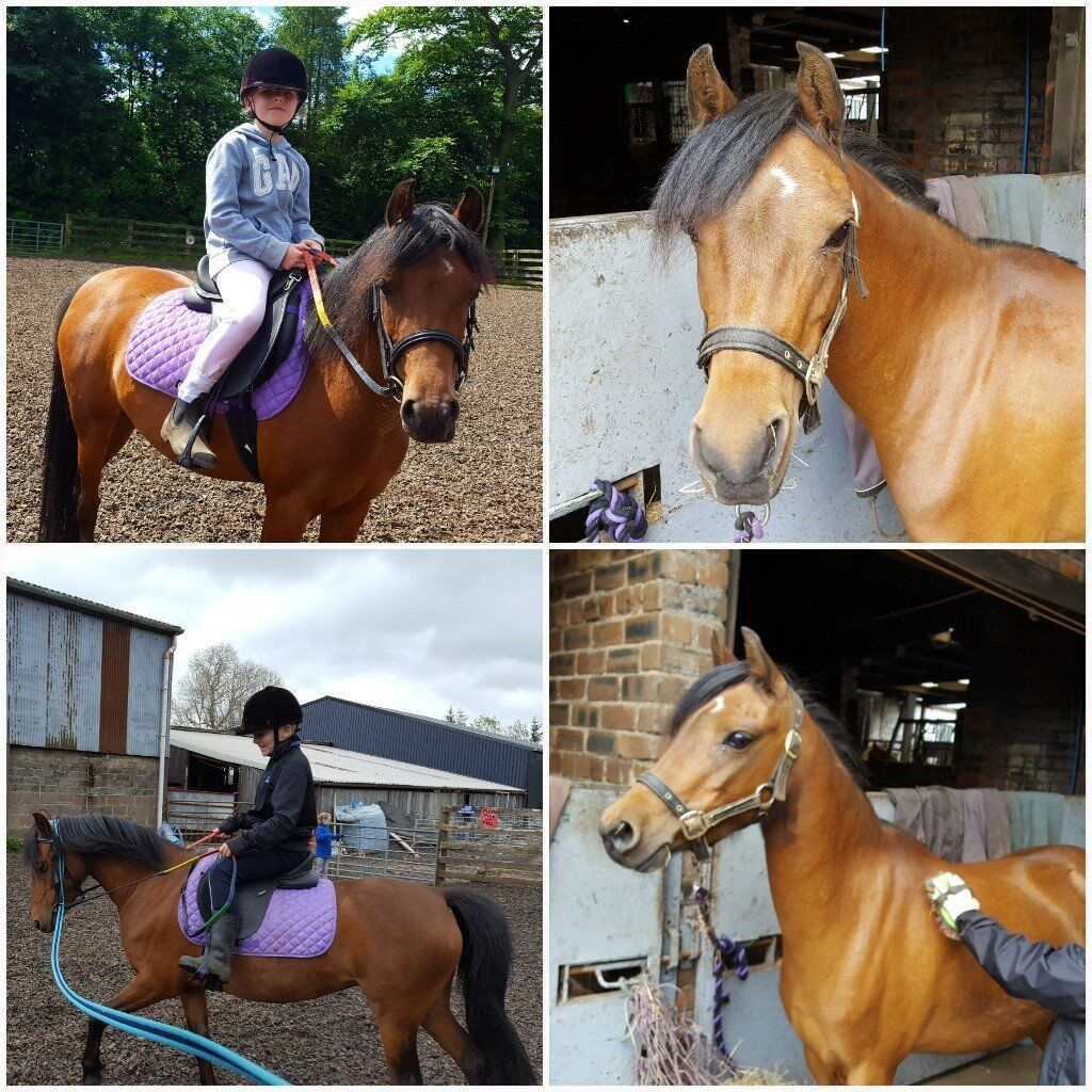 Beautiful Pony - 12.2 Welsh B, 8 year old mare