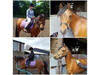 SOLD Beautiful Pony - 12.2 Welsh B, 8 year old mare