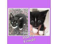 1 Female Maine Coon Kitten Left