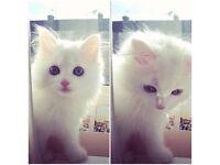 Stunning White Persian/Turkish angora cat