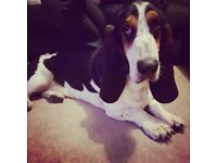 Lovely Pedigree Basset Hound looking for new home
