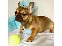 a beautiful Sable french bulldog girl
