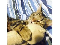 Lost Male Tabby Cat Since 23rd July 2016
