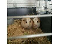 2 boy guinea pigs with everything!