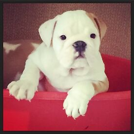 Last Puppy Available Now ***REDUCED***
