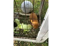 2 x Boy Guinea Pigs