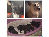 Kennel club Registered French Bulldog Puppies