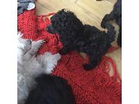 Toy Poodle KC Reg pup Male
