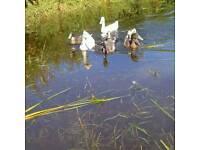 Lost Indian runner ducks