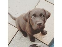 Female chocolate labrador