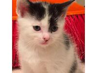 BEAUTIFUL FLUFFY white chunky male kitten PAW print spots READY NOW