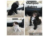 Maltipoo baby's