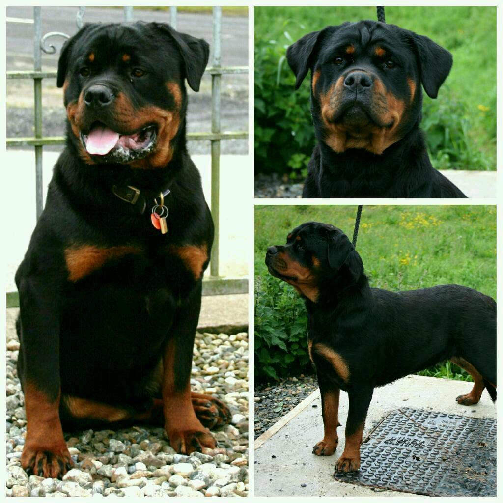 Stunning Rottweiler Puppies In Garvagh County Londonderry Gumtree