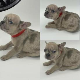 French Bulldog Puppies MERLE