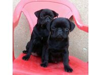2 Black female Pug puppies - 5 months - must go together!