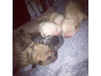 Chowpei puppys