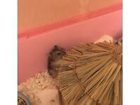 2x Baby hamsters for sale