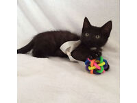 All black female kitten delivery available if needed