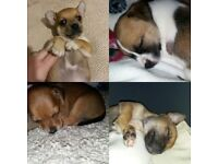 Jack russell pups for sale £250 (75 deposit to secure due to time wasters )