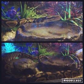 Ball python snake full set up