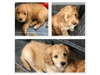 Last 3 Adorable Toy Cockapoo Puppies - All boys