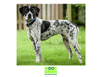 Darla - Pointer - 18 months old - Looking for her Forever Home