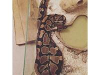 4 year old male ball python for sale