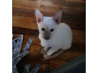 Beautiful lilac point pedigree Siamese kitten