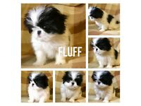 Japanese Chin 3/4 Cross Puppies Puppy