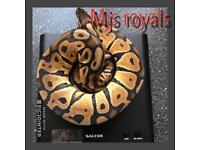 Cb17 pastel royal python