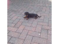 Mini dachshund puppy's Black and Tan smooth coat and choclate and Tan