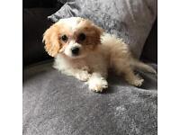 Cavachon puppy female apricot and white